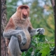 Proboscis Monkey in Nethelands