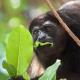 Howler Monkey having lunch in a tree