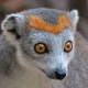 Crowned-Lemur