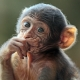 A baby Barbary monkey deep in thought