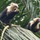 Capuchin-Monkeys