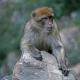 Algeria-Barbary-Macaque