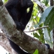 Mantled-Howler-Monkey-14