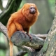 Brazils-golden-lion-tamarin