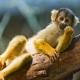 Comfortable squirrel monkey