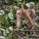 Sunda Pig-tailed Macaque in Malaysia