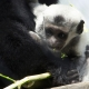 What a cute Colobus monkey