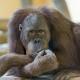 Cool-eating-orangutan