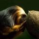 Golden-Headed-Lion-Tamarin-feeding