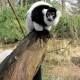 Black-and-White-Ruffed-Lemur-1