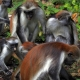 Zanzibar red colobus monkeys