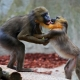 Dancing and fighting Mandrills