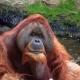Intelligent Orangutan looking at the camera