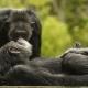 Give me a Chimpanzee kiss