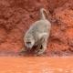 Baboon dribbles from a red earth waterhole