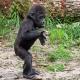 Sweet Baby Gorilla walking