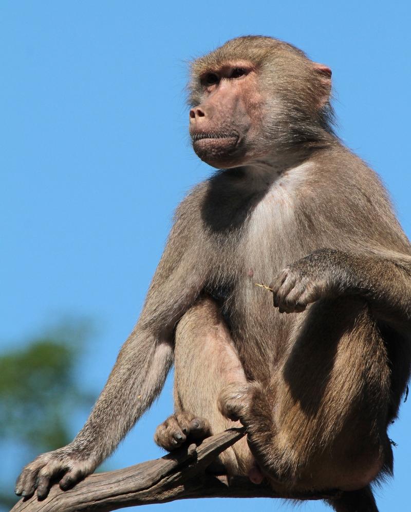 Baboon on duty