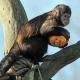 Capuchin-Monkey-3