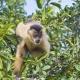Capuchin monkey in the tree