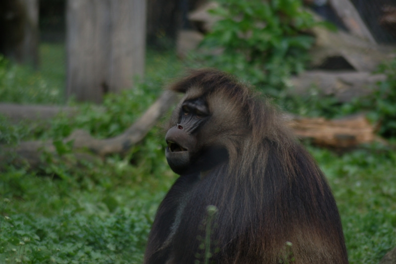 Baboon in the Dresden Zoo