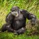 Chimpanzee  at  Zoo Miami