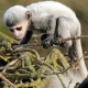 A very fragile Colobus monkey