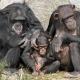Chimpansee-Beekse