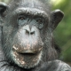 A very older Chimp with well defined features