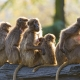 Backlit group of Gelada baboons