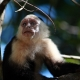 White-headed Capuchin  in Costa Rica