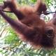 Orangutan-16