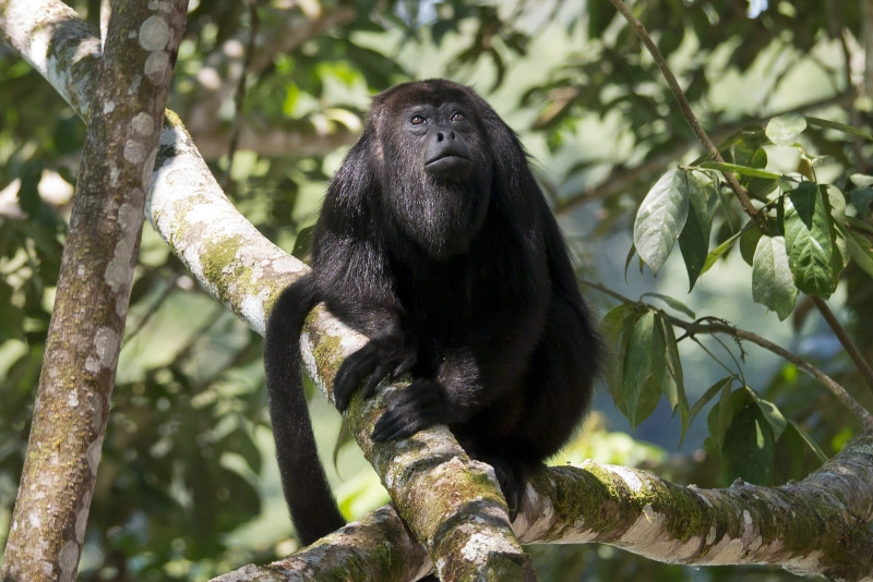 Central American Black Howler