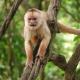 Angry  Capuchin monkey in Peru