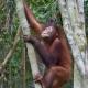 Orangutan-7