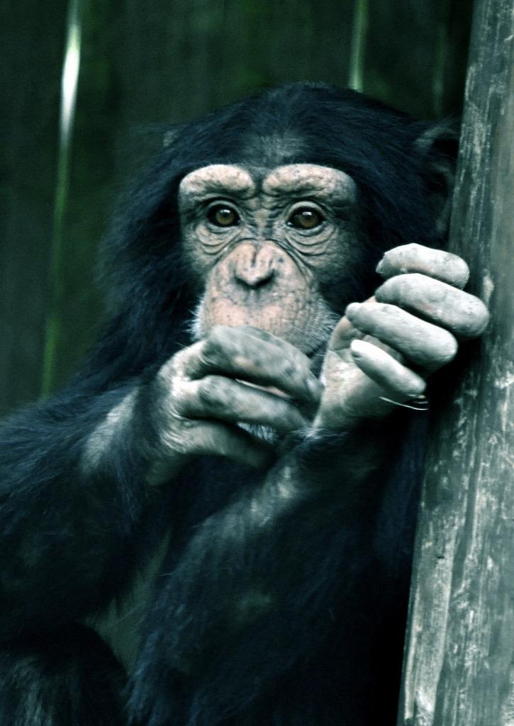 Chimpanzee contemplating his life