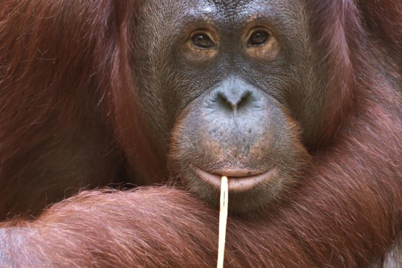 Orangutan not drinking