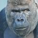 Western lowland Gorilla at Artis zoo