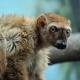 Blue-Eyed Black Lemur in America