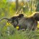 Ethiopian Gelada baboon with her baby