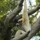 White-handed-gibbon