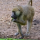 Yellow Baboon feeding on water cabbage