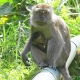 Long-tailed-Macaque-with-baby-Frasers-Hill