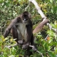 A Spider Monkey from Central America