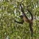 Central-American-Spider-Monkey