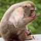 Macaque-artis