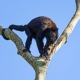 A male howler monkey on a dead tree, near the river.