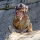 Baby Barbary Monkey eating on his rock