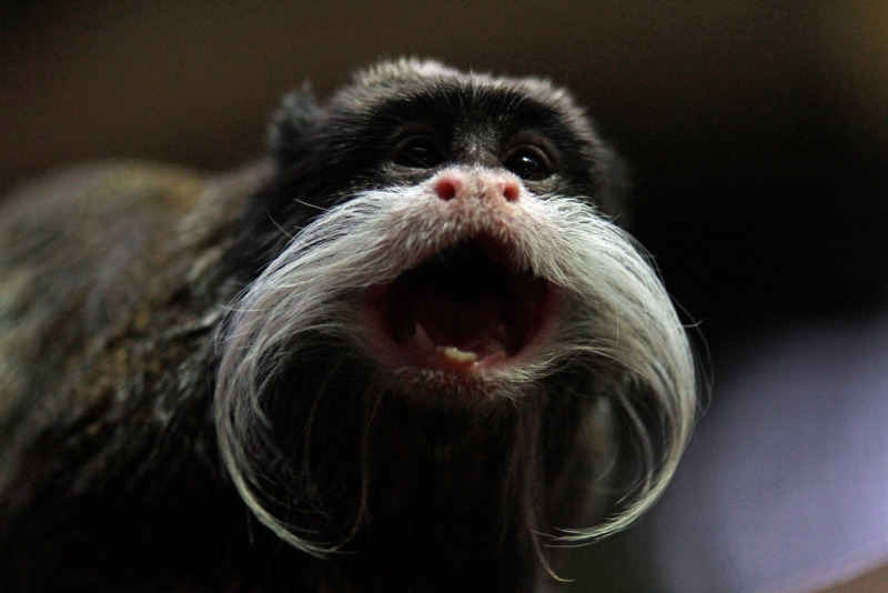A Tamarin monkey shouting