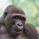 Portrait-of-a-young-gorilla