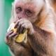 Capuchin monkey eating a salad.